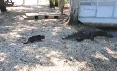 Cat vs alligator. 