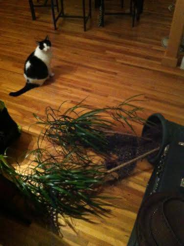meow meow plant